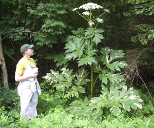 Giant Hogweed - Do Not Touch This Plant!